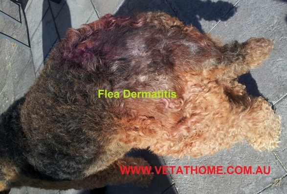 Flea Dermatitis in Pet