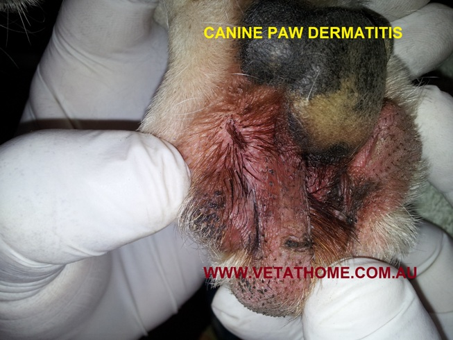 Atopic Dermatitis In Dogs